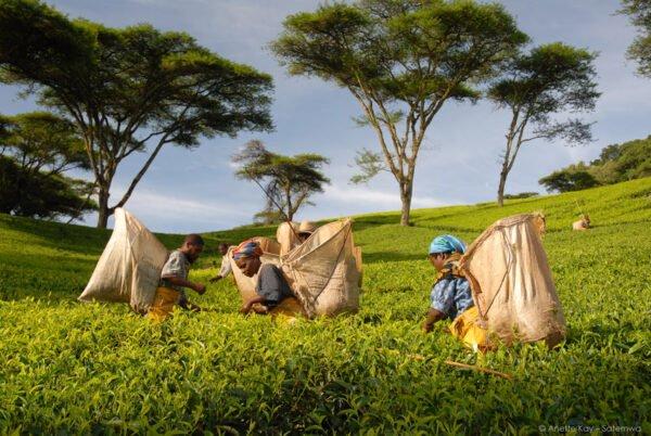 mentha-spicata-malawi